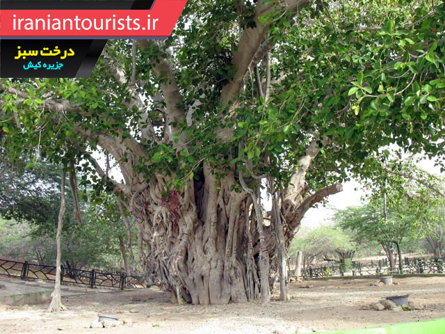 درخت سبز معروف جزیره کیش