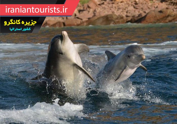 دلفین های زیبای جزیره کانگرو در کشور استرالیا