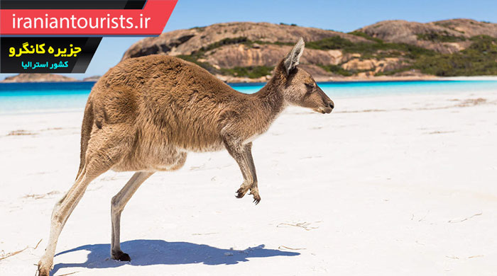 کانگرو زیبا در ساحل جزیره کانگرو قاره استرالیا