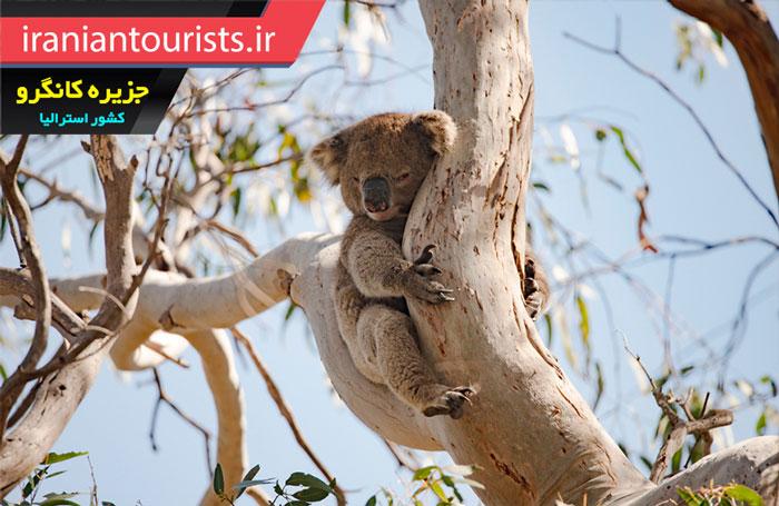 خرس کوالا بالای درخت در جزیره کانگرو استرالیا