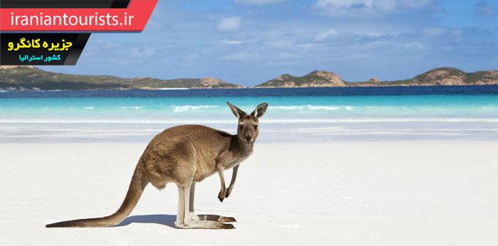 نگاه کانگرو به دوربین در ساحل زیبای جزیره کانگرو استرالیا